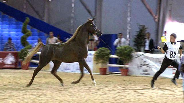 مهرجان الخيول في المغرب