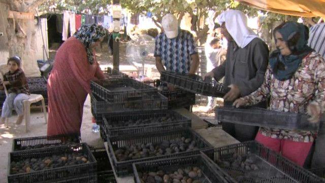 مزارع النخيل في وادي الأردن