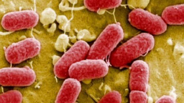 صورة للبكتيريا