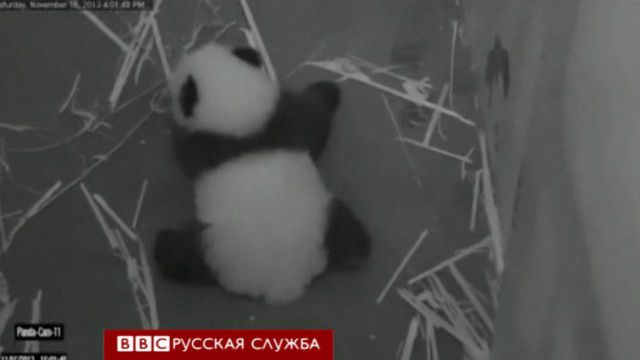 Панда учится ходить