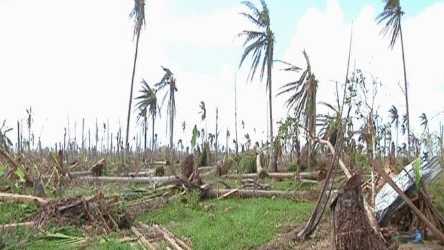 أشجار جوز الهند تأثرت بإعصار هايان في الفلبين