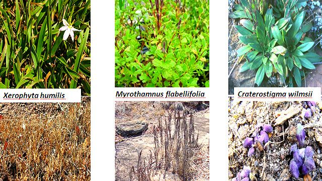 Especies de plantas de la resurrección después y antes de la lluvia Foto gentileza Jill Farrant