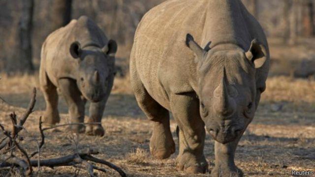 Subastan licencia para cazar rinocerontes en peligro de extinción