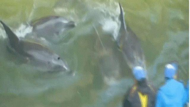 صيد الدلافين في اليابان