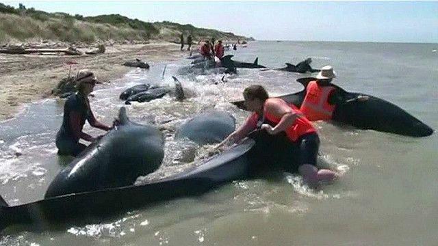 Спасение китов, выбросившихся на берег