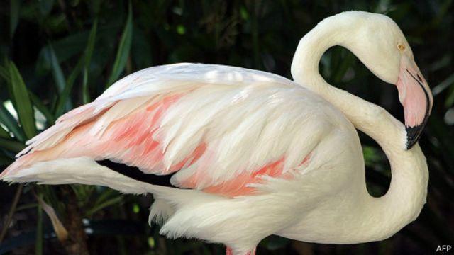 В Австралии усыпили фламинго, дожившего до 83 лет