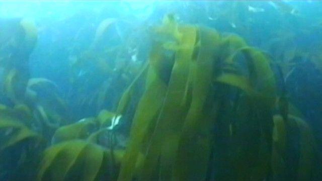 الأعشاب البحرية