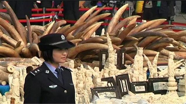ازدياد الطلب على العاج قد يؤدي إلى انقراض الفيلة