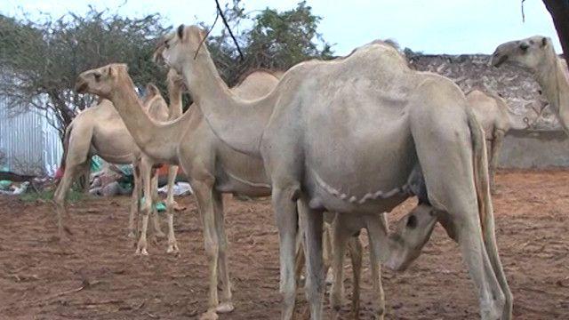 ابل في الصومال