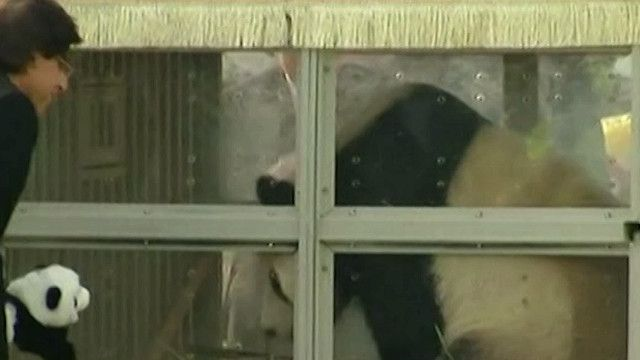 حيوان الباندا في قفص