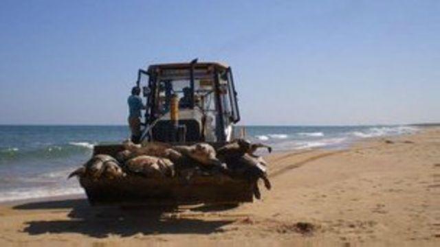Hallan 900 tortugas marinas muertas en India