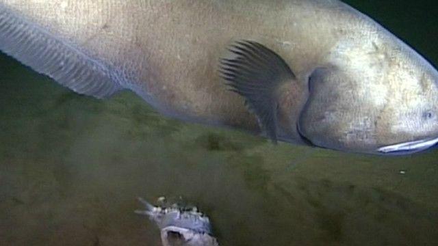 Uma das espécies registradas pelos cientistas do Oceanlab, da Universidade de Aberdeen (BBC)