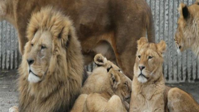 مجموعة اسود في حديقة حيوانات كوبنهاغن