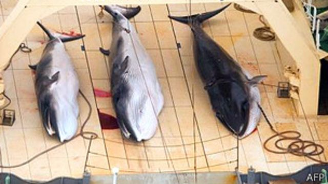 Mayor portal de Japón dejará de vender carne de ballena