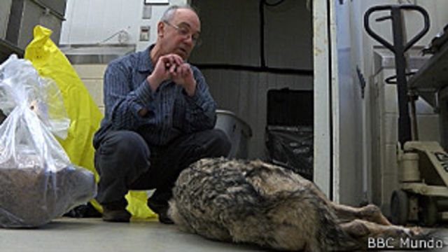 El científico que trabaja con escarabajos que comen animales muertos