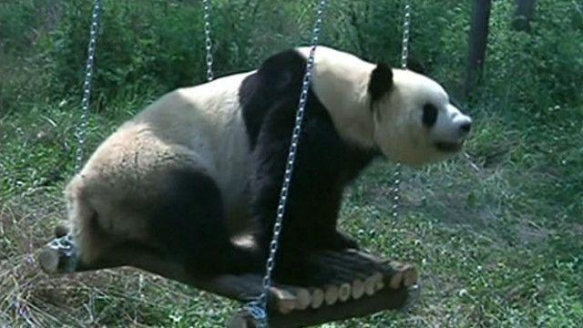 Panda deprimindo no balanço. Foto: AP