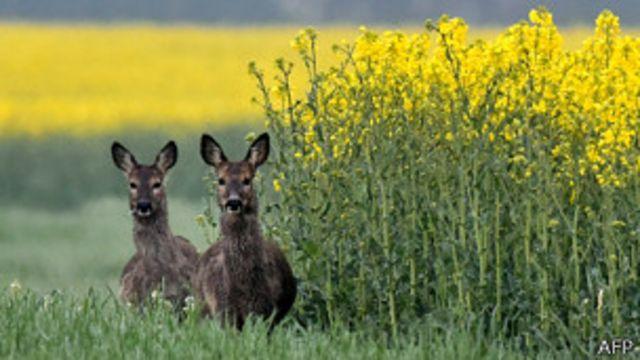 Ciervos en Alemania y República checa no se atreven a cruzar la frontera