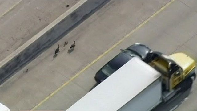 Tráfego ficou lento pois motoristas queriam ver e fotografar as aves na estrada (BBC)