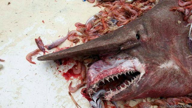 Pescan un rarísimo tiburón duende en Florida