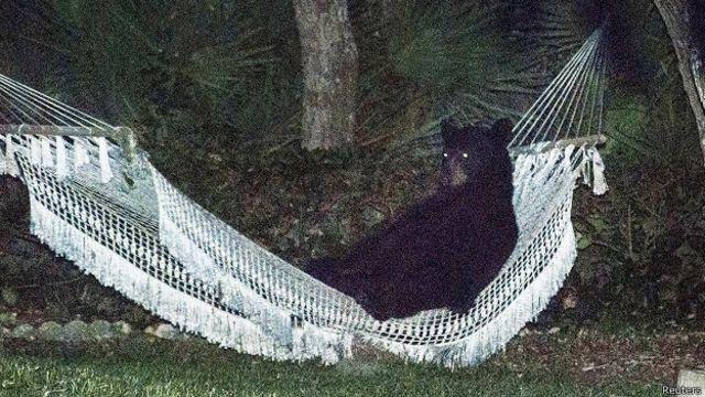 EE.UU.: fotografían a un oso acostado en la hamaca de una casa de Florida