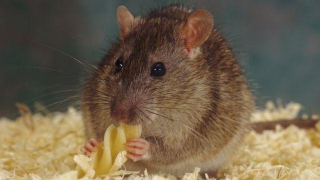 دراسة: الفئران تشعر بالأسف بعد القرارات السيئة