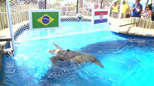 سلحفاة مائية تتنبؤ بالفائز في مباريات كأس العالم