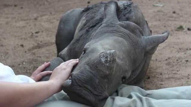 Bebê rinoceronte 'órfão' é adotado por ovelha   Crédito: BBC