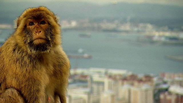 قرد من جبل طارق