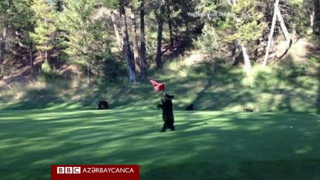 Медвежонок забрел на поле для гольфа