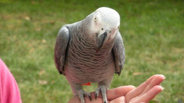 Papagaio reencontrado após quatro anos troca inglês pelo espanhol