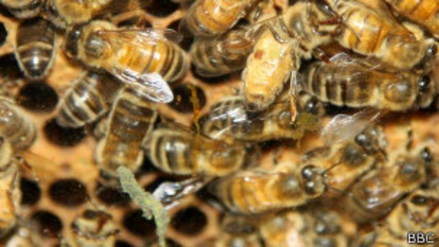 El voraz apetito sexual de la abeja reina