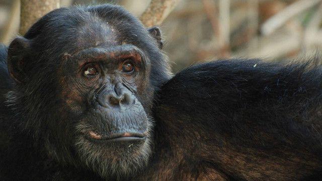 چمپینزی