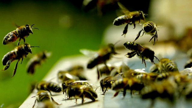 uk_bees