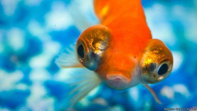 Quatro coisas que você não sabia sobre peixes-dourados