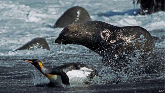 ¿Por qué hay lobos marinos que quieren copular con pingüinos?