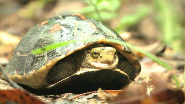 taiwan turtle