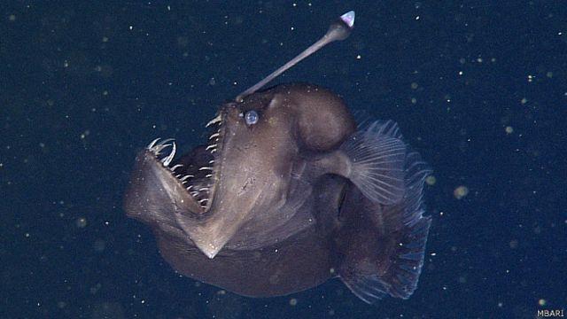 Graban por primera vez al temible pez 'diablo negro del mar'