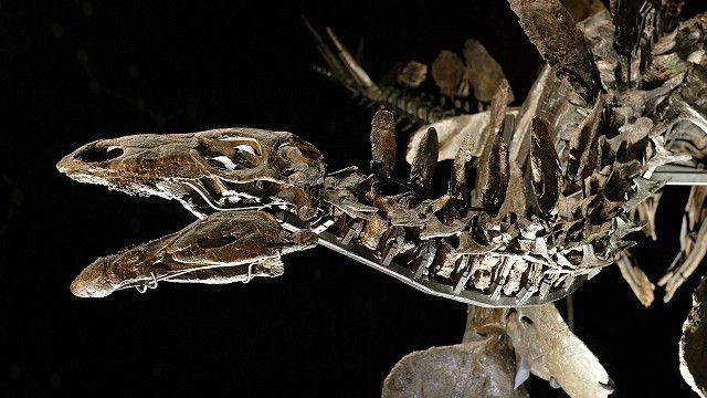 「蘇菲」劍龍骨架標本