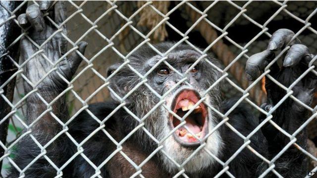 """""""No se pueden aplicar los derechos humanos a los chimpancés"""""""