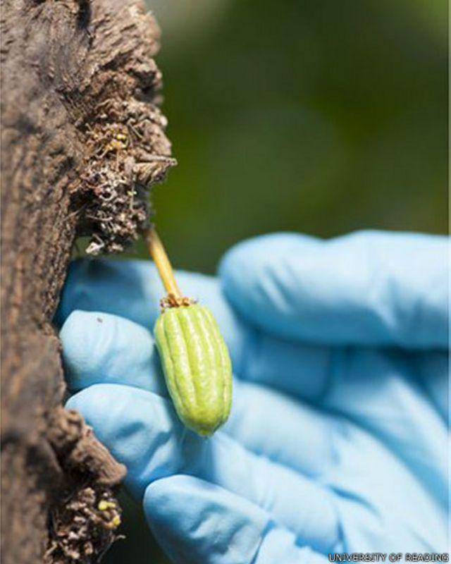 Çikolata 'kakao karantinası' ile korunacak