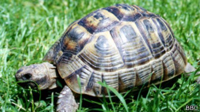 Cómo hace una tortuga invertida para volver a ponerse de pie
