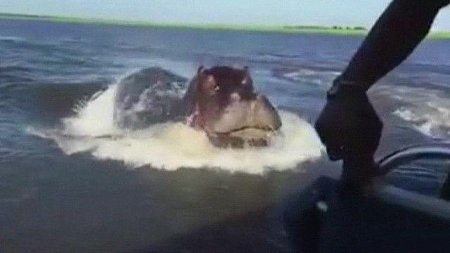 فرس النهر يهاجم قارب