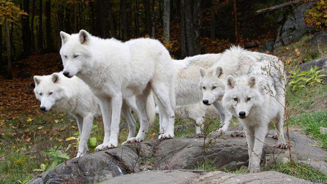 Восемь удивительных фактов о волках