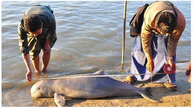 myanmar_irrawaddy_dolphin