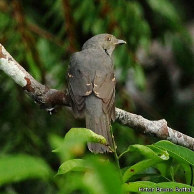 El insólito método de un ave amazónica para defenderse de sus depredadores