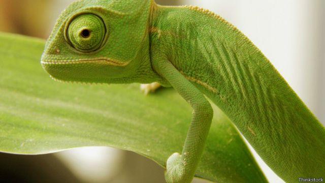 Cientistas desvendam segredo da mudança de cor dos camaleões