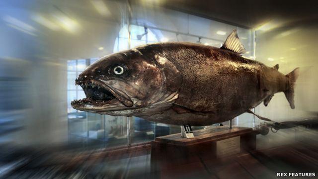 La bestia del Danubio: el salmón que llega a ser tan grande como una persona