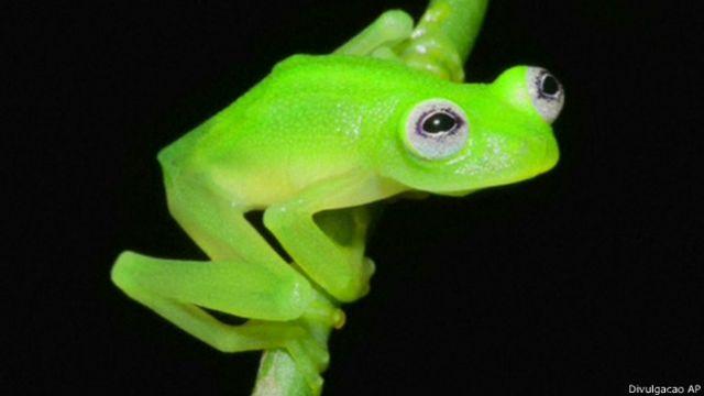 Nova espécie de rã transparente é encontrada na Costa Rica