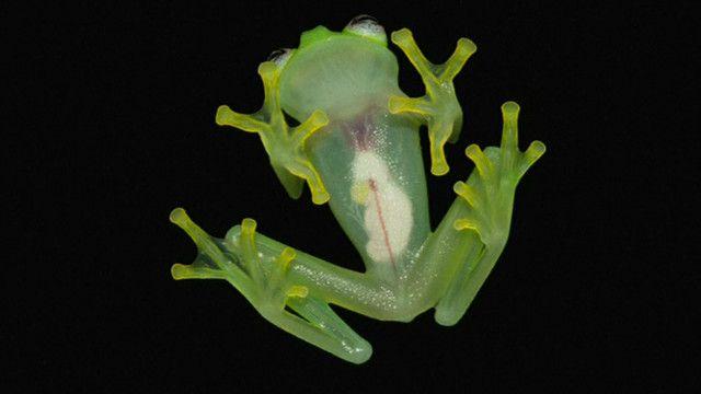 「玻璃蛙」