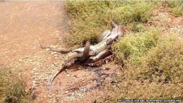 Qué pasa dentro de una pitón cuando se come un caimán